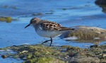 Little Stint - Andrew Ross