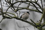 Marsh Tit - Rob Dawson