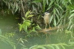 Night Heron - Mark Waller