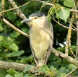 Night Heron - Phil Jones