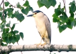 Night Heron - Paul Thomas