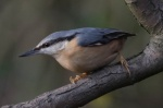 Nuthatch at Methley bridge - MN