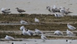 Possible Thayers Gull - Jim Welford