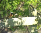 Redstart - Joe Eckersley