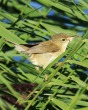 Reed Warbler - MN