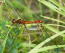 ruddy darters - JK