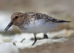 Sanderling - Jim Welford