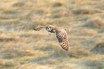 Short-eared Owl- Mark Waller