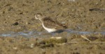 Temminck's Stint - DIH