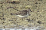 Temminck's Stint - RD