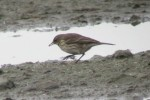 water pipit - RD