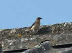 Wheatear - Mike Pullan