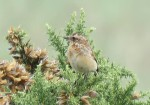 whinchat -GYL