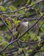 Whitethroat - MN