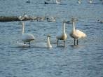 Whooper Swans - DIH