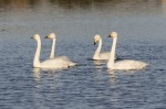 Whooper Swans - mike noble