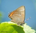 White-letter Hairstreak - Gordon Rickers