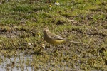 Yellow Wagtail - MN
