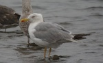 Yellow-legged Gull - DIH