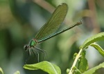 Banded Demoiselle - Jim Welford