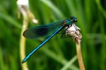 Banded Demoiselle - Mick Noble