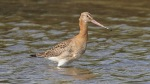 Black-tailed Godwit - Jim Welford