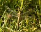 Black-tailed Skimmer - Julian Keeble