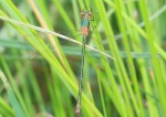 Emerald Damselfly - Mike Pullan