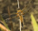 Four-spotted Chaser - Julian Keeble