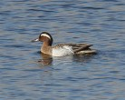 Garganey - Mick Noble