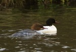 Goosanders - Julian Keeble