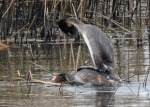 Great crested grebes - Debbie Nicholson