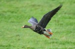 Greenland White-fronted Goose - Glyn Sellors