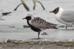 Grey Plover - Dave Hunton