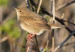 Grasshopper warbler - Dave Hunter