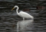 Great White Egret - Dave Hunton