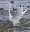 Great White Egret - Dave Hunter