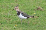 Lapwing-Mick Noble
