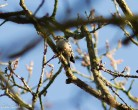Lesser Pecker - Julian Keeble