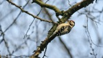 Lesser spotted Woodpecker- David Williamson