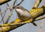 Lesser whitethroat - Mick Noble