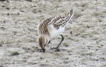 Little Stint - Graham Leach