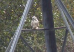 Very pale Buzzard at Skelton - Dave Hunton