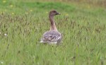 Pink-footed Goose - John Brierley