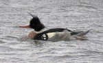 Red-breasted Merganser - GYL