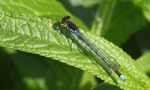 Red-eyed Damselfly - Clive Barraclough
