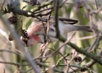 (Mealy or Lessser?) Redpoll - Debbie Nicholson