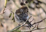 (Mealy or Lesser?) Redpoll - Debbie Nicholson