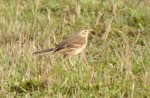 Richard's Pipit - Bob Creek