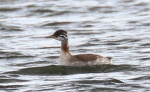 Red-necked Grebe - Dave Hunter